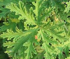Citronella leaf