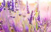 Lavender buds