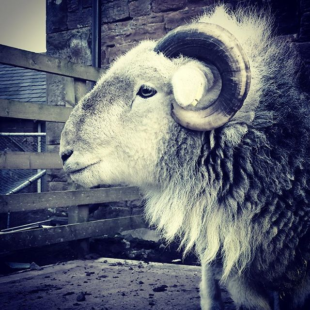 Hello handsome _#herdwick #sheep #lakedistrict