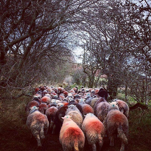 A sheepy, winters scene 🐑_#sheep #lakedistrict #herdwicks