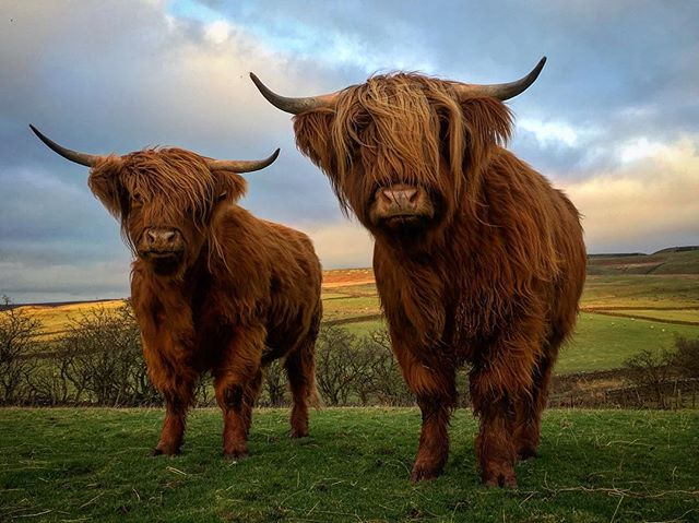 🐮❤ #highlandcows #beautiful #cumbria #highlandcattle