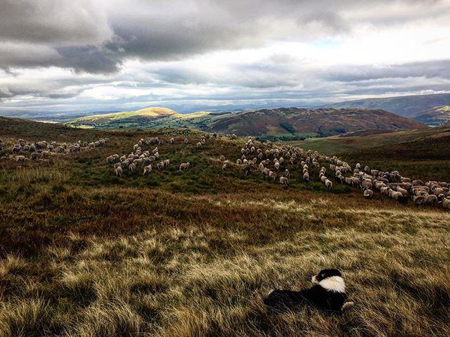 A little piece of heaven on earth 😍 #lakedistrict #sheep #fellgather #shepherdess