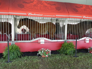 World Renowned Budweiser Clydesdales Visit the Area