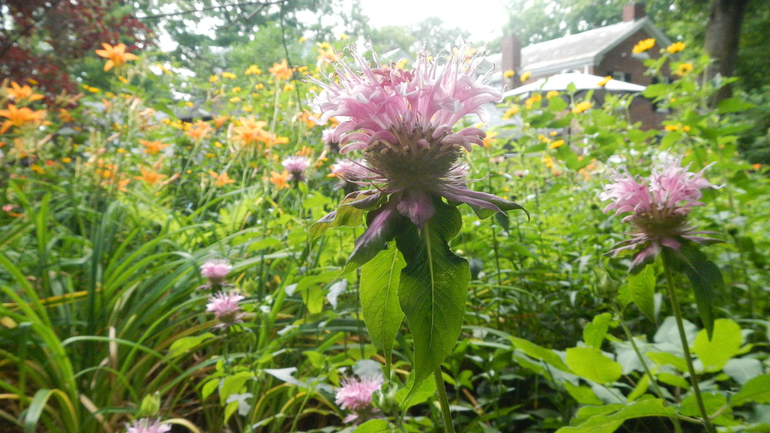Light pink bee balm in the Country House garden