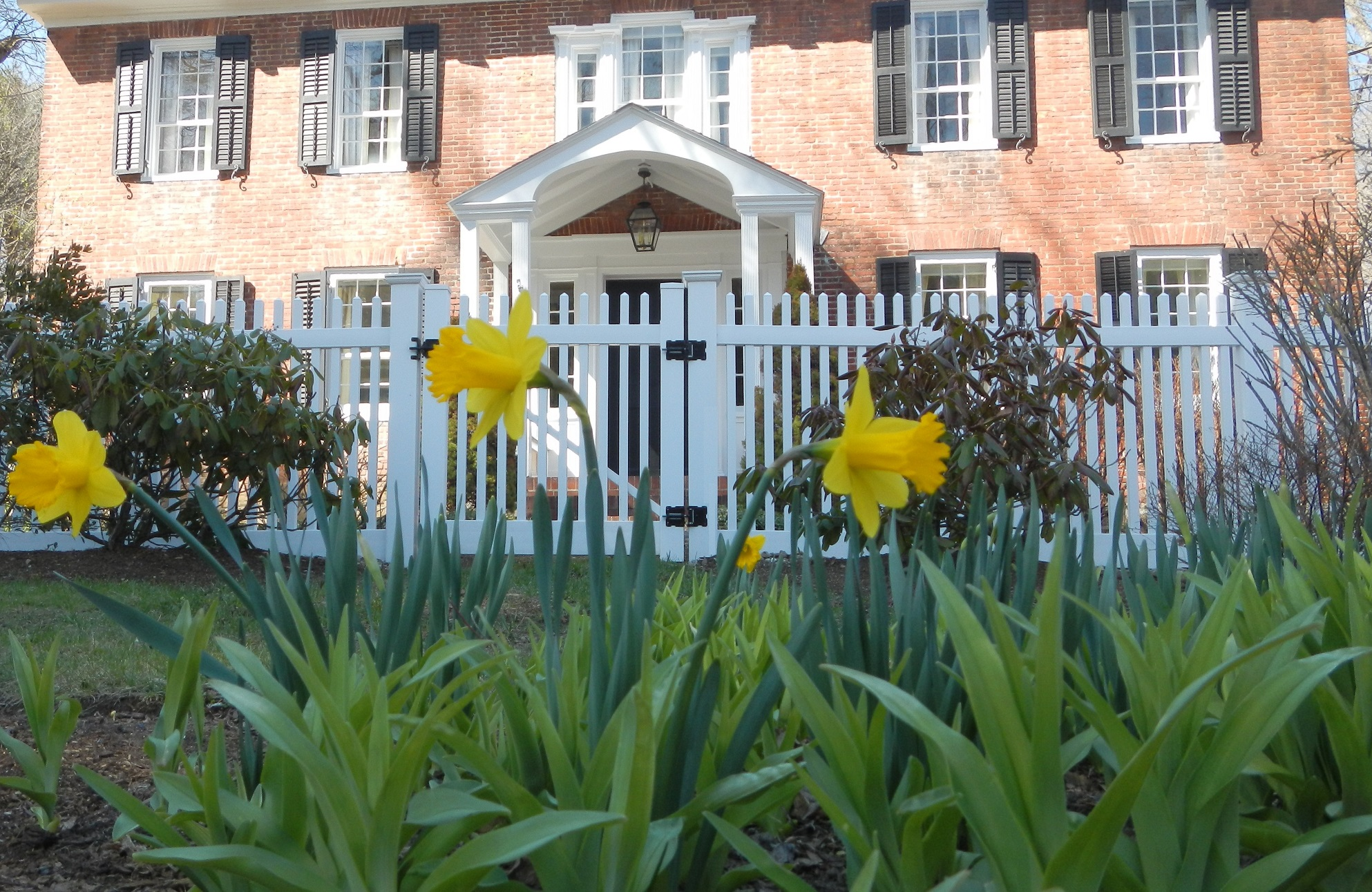 Daffodils emerge in the spring at Country House