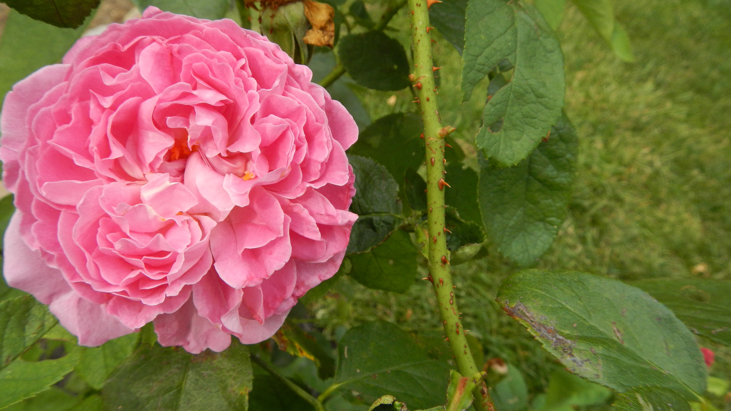 David Austin roses are the newest addition to the gardens at Country House