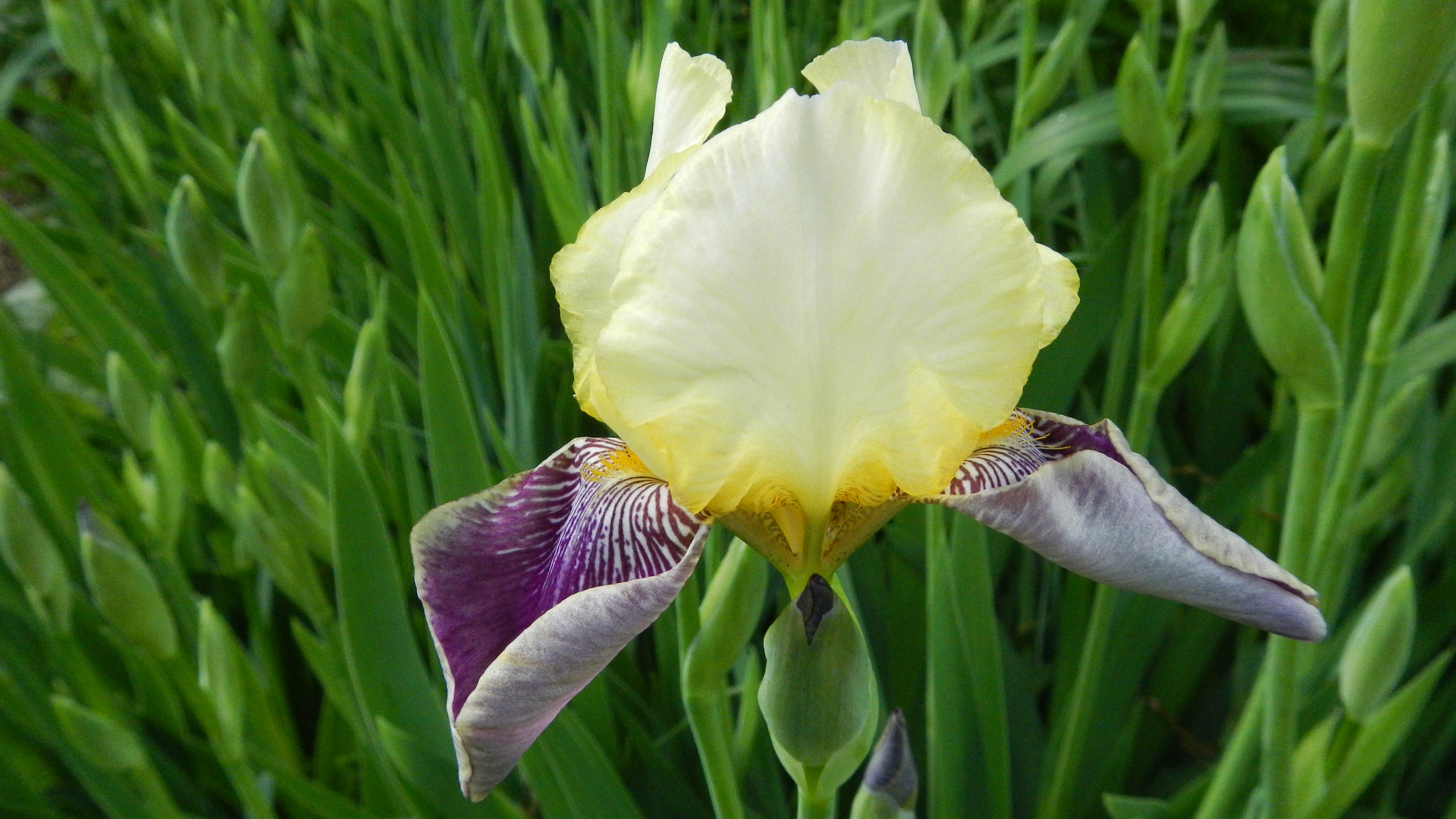 One iris among many blooms at Country House