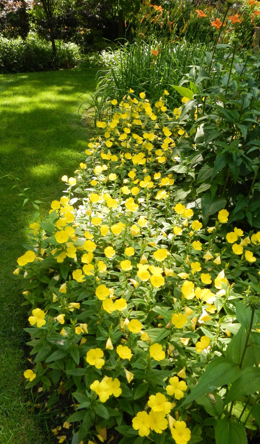 A bright yellow flower border at Country House_edited
