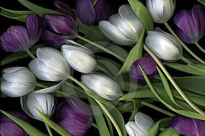 purple-white-tulips-18191061_edited