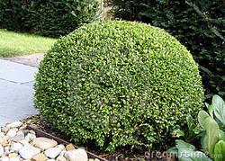 bush-buxus-buxus-15886864