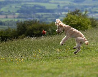 Dog leaping in the air to catch a ball