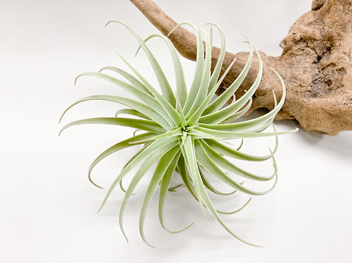 Rare Air Plant - Large Tillandsia Purpurea Spiral