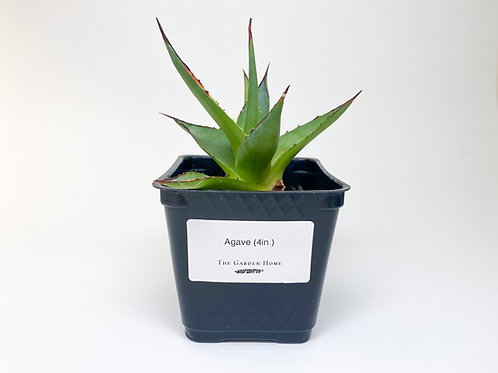 Succulent - Agave 4in. - Local Pickup Only