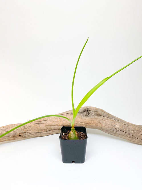 Starter - Pregnant Onion (Albuca Bracteata) Plant - Local Pickup Only