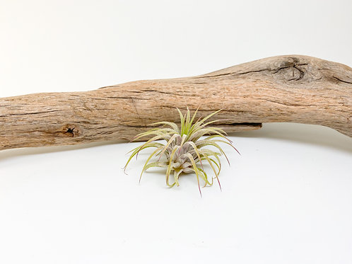 Small Ionantha Air Plant