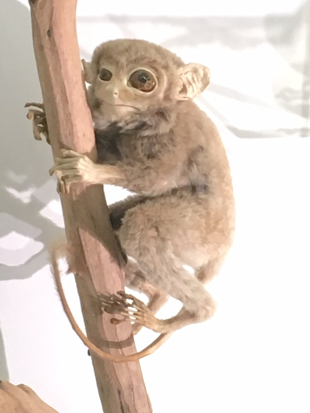 The Tarsier. Probably. Museum of Zoology, Cambridge