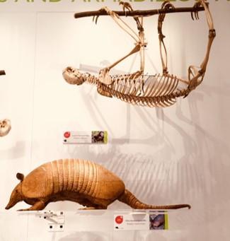 Xenarthra case - armadillo and sloth