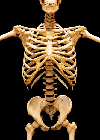 Human skeleton torso front