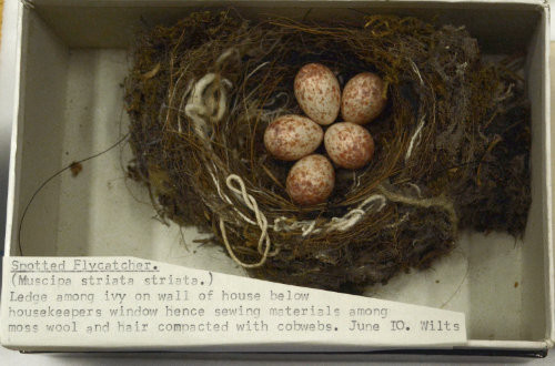 A spotted flycatcher nest with five eggs and clear pieces of thread and string along the margin of the nest