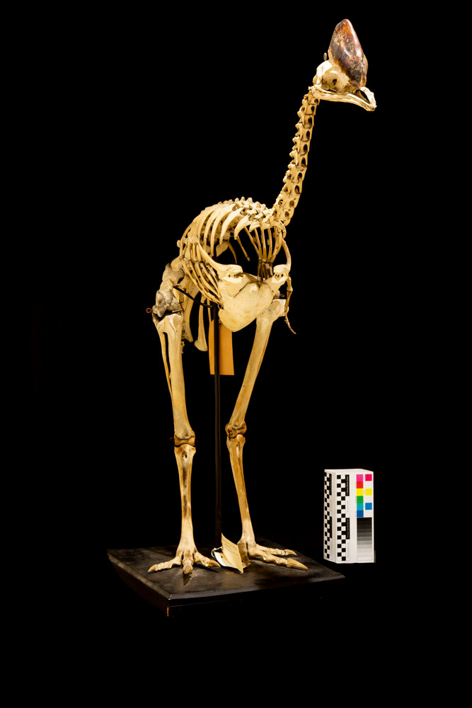 Cassowary skeleton ... with tiny scale!