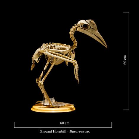 Ground Hornbill 9254.jpg