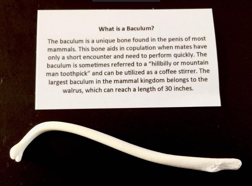 Raccoon baculum (os penis), the hillbilly toothpick