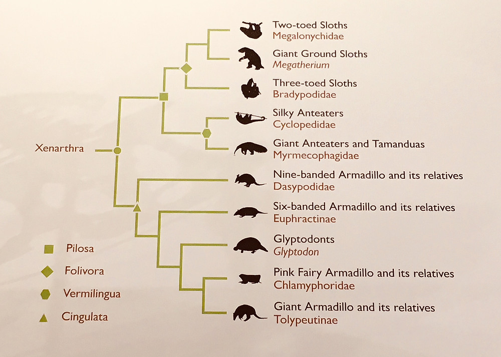 Cladogram of Xenarthra - sloths, armadillos and anteaters
