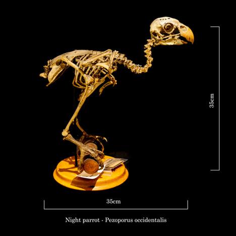 Night parrot 6866.jpg
