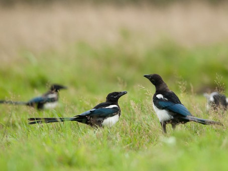 One for sorrow, two for joy...