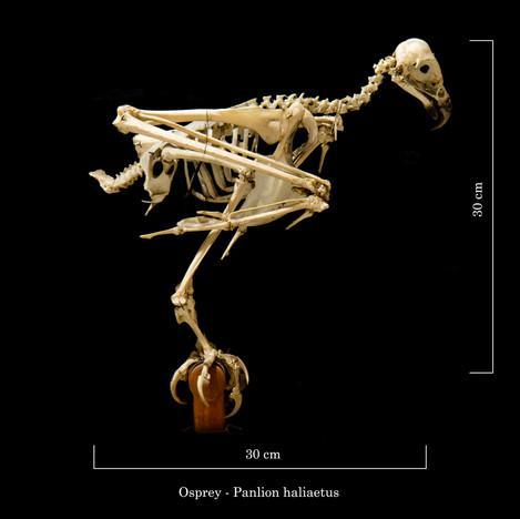 Osprey 6600.jpg