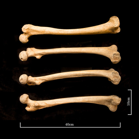 left femur with scale