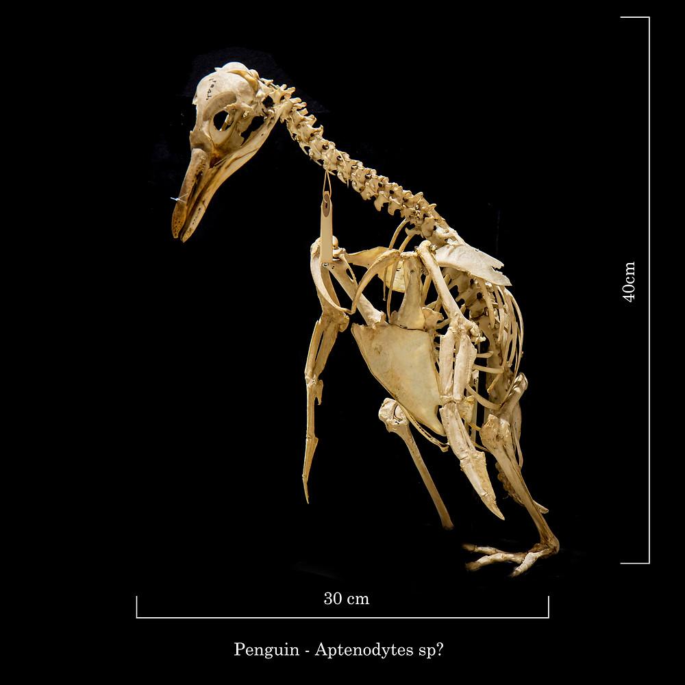 Depressed penguin skeleton with no kneecaps - Courtesy of University Zoology Museum, Cambridge