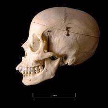 Skull BB08 - 9189.jpg