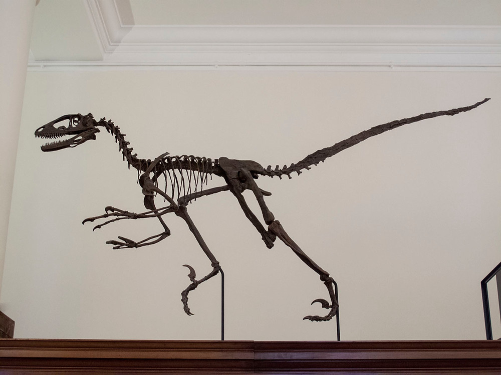 Skeleton of velociraptor
