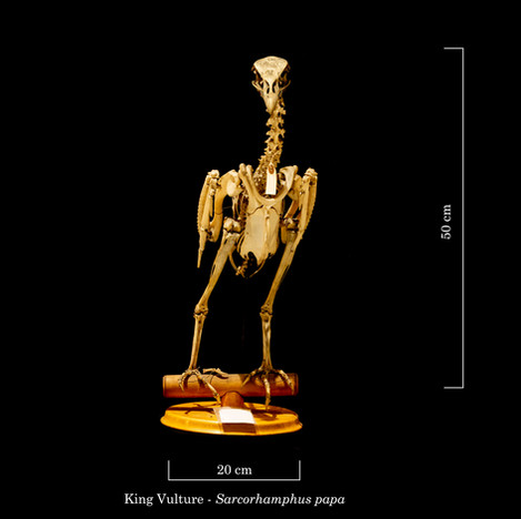 King Vulture 8375