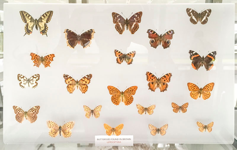 Local butterflies on display at the Zoology Museum