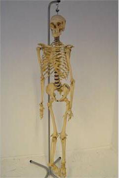 Medical skeleton on metal stand