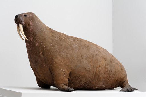 Horniman walrus