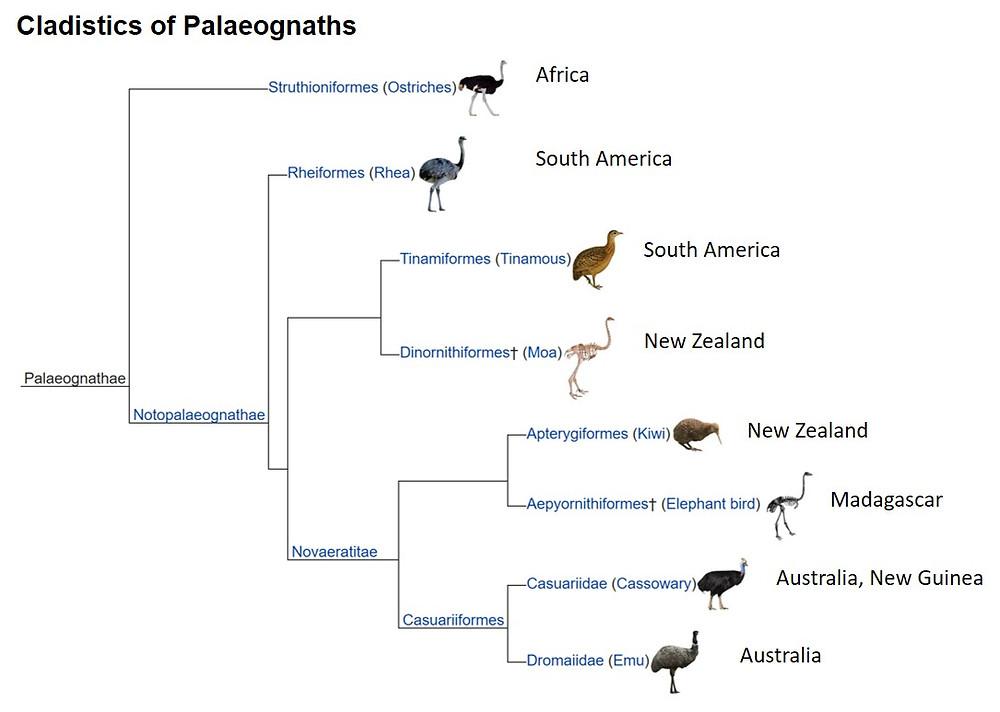 Palaeognaths cladistics