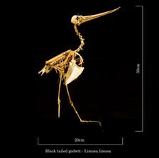Black tailed godwit 6836.jpg