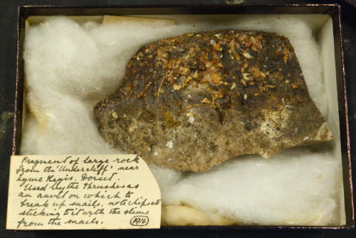 A rock in a box with cotton wool. On the rock are fragments of chips and snail slime. A note states it is from Lyme Regis and is a thrush anvil