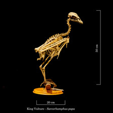 King Vulture 8372