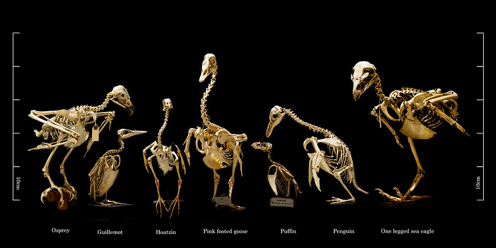 Unusual suspects - bird skeletons and looking for kneecaps - Courtesy of University Zoology Museum, Cambridge