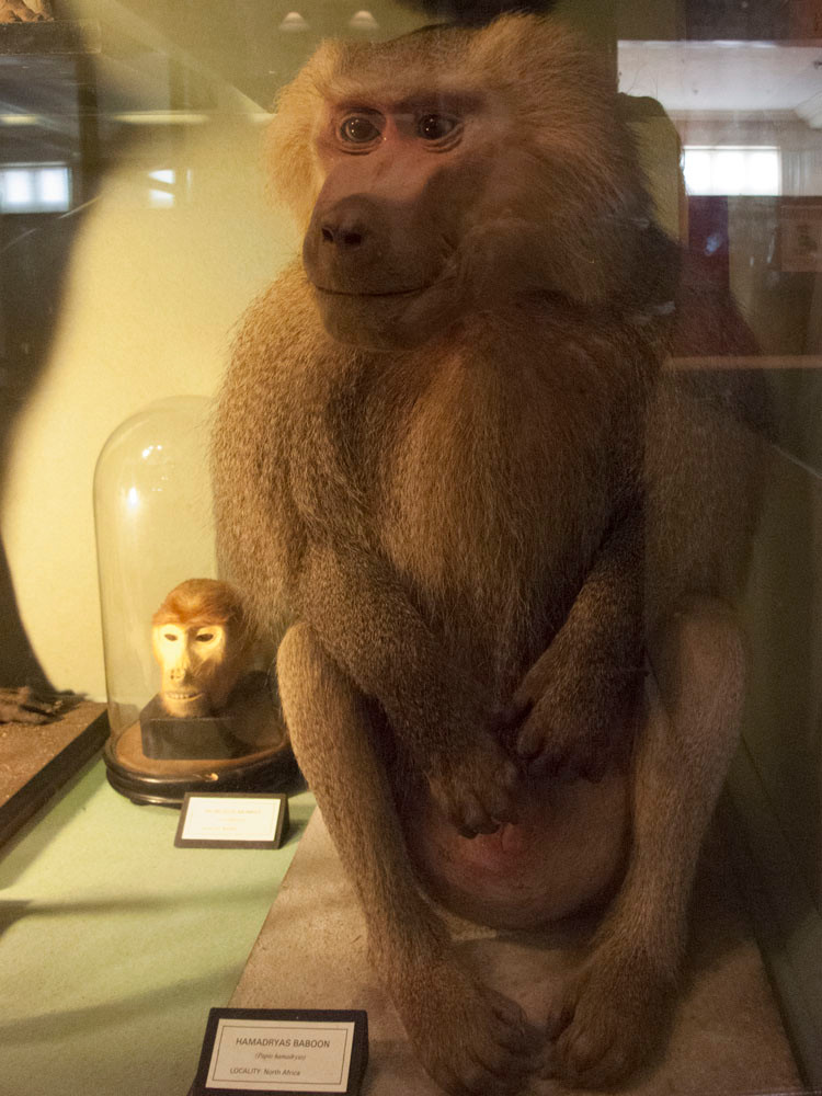 Head in a jar and happy baboon