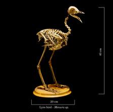 Lyre bird 9305.jpg