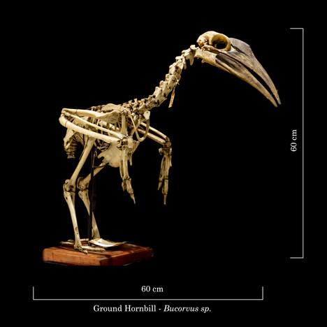 Ground Hornbill 9242.jpg