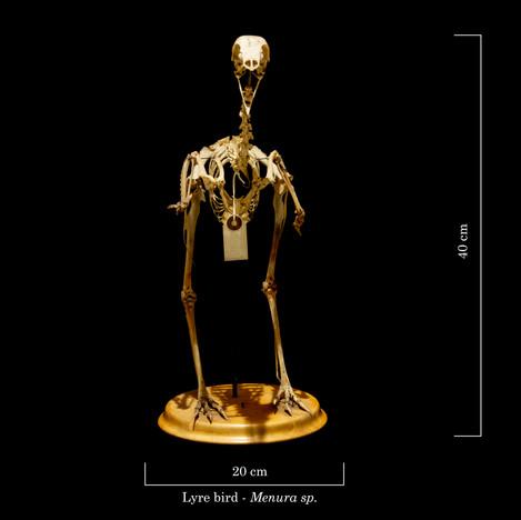 Lyre bird 9306.jpg