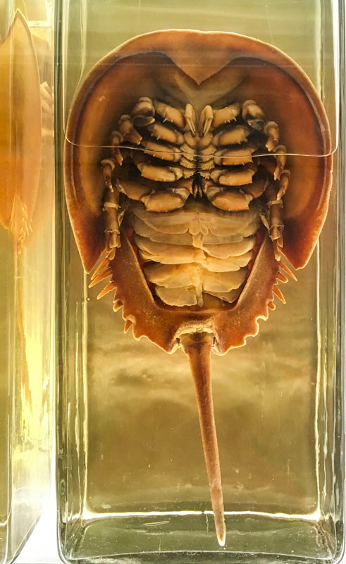 Horseshoe crab wet specimen in Zoology Museum, Cambridge