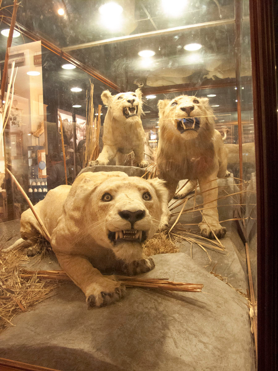 Blonde lions