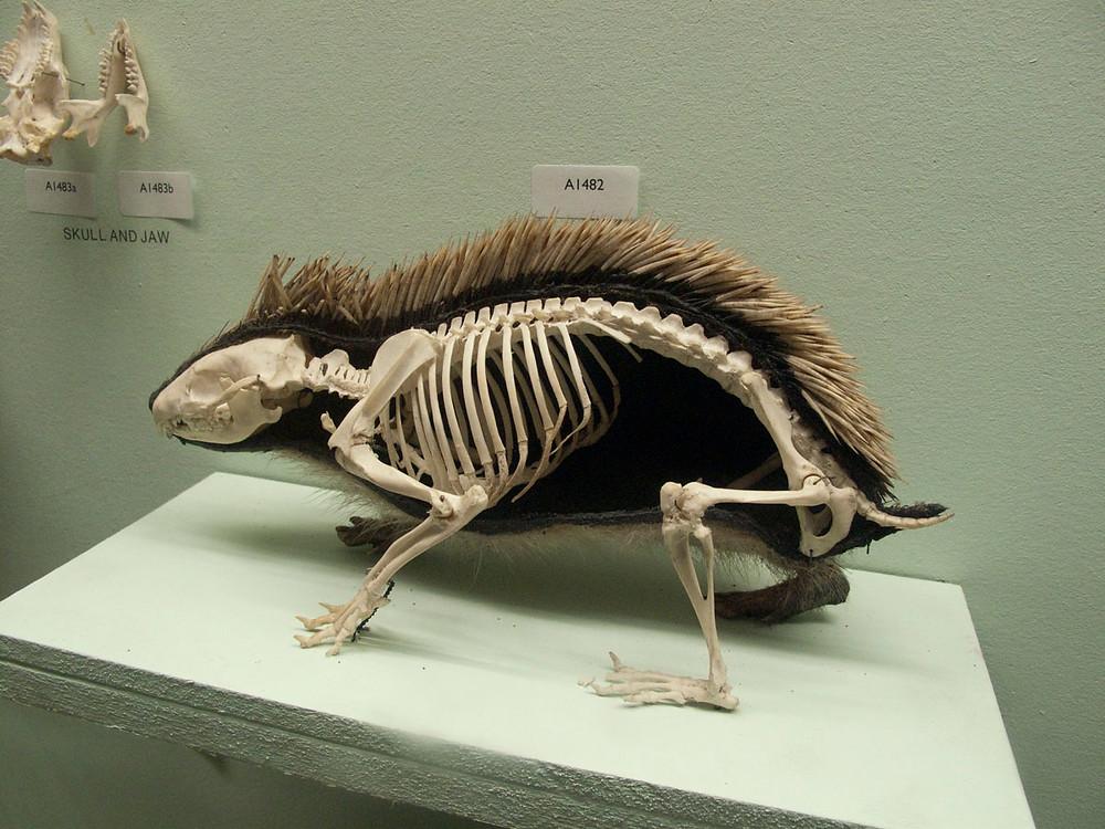 Skeleton hedgehog in a hedgehog coat